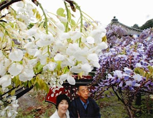冷たい春雨の中、藤棚で色鮮やかに咲く白藤=27日、掛川市西大渕の普門寺で