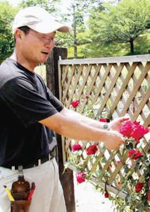 拡張したバラ園で育てた花の手入れをする森田さん=いずれも豊田市西山町の西山公園で