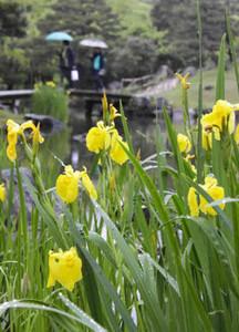 雨露にぬれるハナショウブ=彦根城の玄宮園で