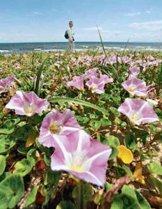 砂浜で群生し、かれんに咲くハマヒルガオ=津市白塚町の白塚海岸で