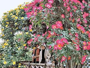 本格的に咲き始めたバラ=高岡おとぎの森公園で