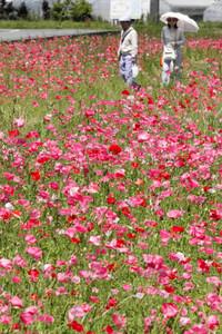 ピンクや赤色に彩られ、見ごろを迎えたポピー畑=東近江市の道の駅「あいとうマーガレットステーション」で