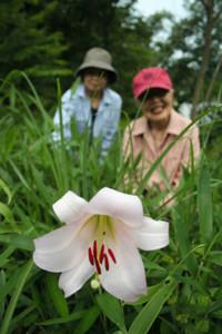 咲き始めたササユリ=名張市青蓮寺で