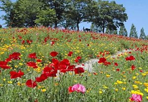 赤色を中心に咲き乱れる「ポピーの丘」