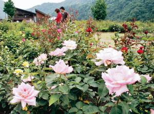 優美なバラの花が来場者を迎えている香愛ローズガーデン=飛騨市河合町で