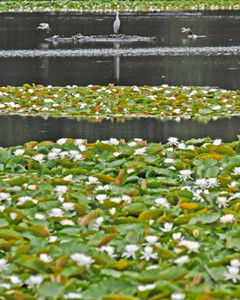 大堤のあちこちで愛らしい花を咲かせるスイレン=坂井市三国町加戸の大堤で