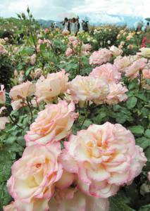 色とりどりの大輪を開き園内に甘い香りを漂わせるバラ=伊那市で