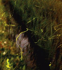 水田で幽玄な光を放つホタル=1分30秒露光、敦賀市奥野で