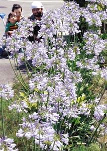 梅雨の晴れ間に薄紫の花を咲かすアガパンサス=28日、浜松市東区上石田町で