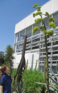 花を咲かせ始めたアガベ・ポタトラム=豊橋総合動植物公園で