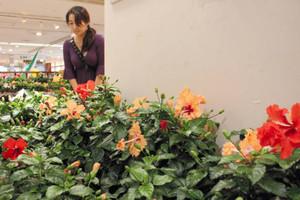 色鮮やかなハイビスカスを集めたフェア=JR岐阜駅アクティブGの花工房ぎふで