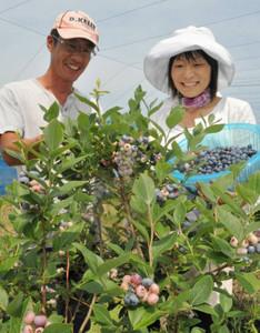 色づき始めたブルーベリーを収穫する角田さん夫婦=米原市中多良で