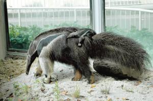 母親の背中に乗るオオアリクイの赤ちゃん(東山動物園提供)
