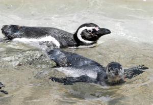 今年6月に生まれたマゼランペンギンの赤ちゃん(下)
