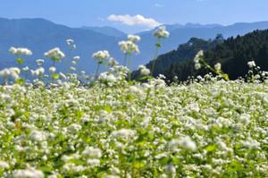 見ごろを迎えたソバの花=大野市内で