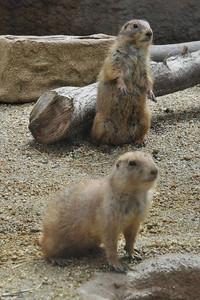 バイソン舎に隣接して展示されるオグロプレーリードッグ=いずれも東山動物園で