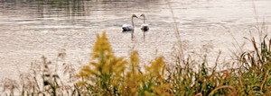 秋の風情が漂い始めた日野川で、朝日を浴びて羽を休めるコハクチョウ=鯖江市の有定橋上流で(福田正美撮影)