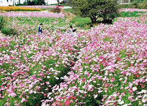 コスモスが道沿いに200万本咲き乱れる豊丘の「コスモス街道」
