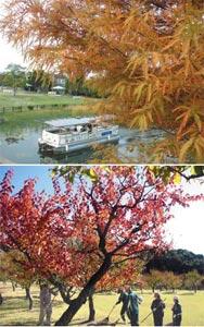 (上)クルーズ船からも眺められるスギの紅葉=浜松市西区の浜名湖ガーデンパークで(下)秋空の下で鮮やかに紅葉した梅=浜松市北区のはままつフルーツパークで