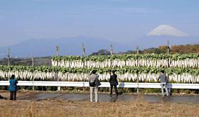 季節の風物詩、富士山を望む地のダイコン干し