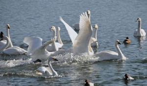 コハクチョウの飛来数が増え始め、冬らしさを感じさせる諏訪湖=岡谷市で