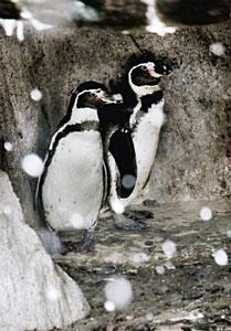 3カ月半ぶりに勢ぞろいしたフンボルトペンギン=富山市ファミリーパークで