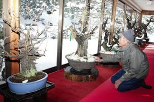 展示する盆梅を見つめる河村さん=大津市坂本の旧竹林院で