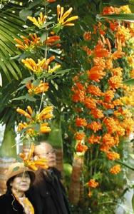 鮮やかなオレンジ色の花を咲かせるカエンカズラ=東伊豆町で