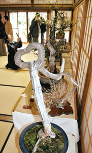 ハートに形作られた紅梅などが並ぶ盆梅展=大府市桃山町の大倉公園で