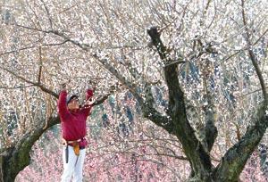 陽気に誘われ花を咲かせ始めた梅=9日午後、磐田市上野部の豊岡梅園で