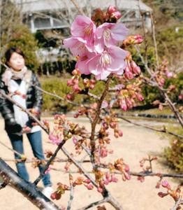淡いピンク色の花が咲き始めた「ごんべえ桜」=紀北町海山区便ノ山の「種まき権兵衛の里」で