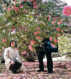 ピンクの花を咲かせたツバキ=小室山公園で