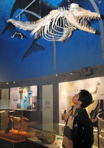 進化の過程で後ろ足が退化したクジラ「ドルドン・アトロックス」=勝山市の県立恐竜博物館で