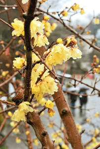 黄色の花が見ごろを迎えたロウバイ=飯田市座光寺の元善光寺で