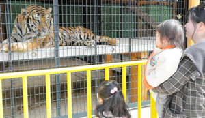 新しく仲間入りしたベンガルトラの「ソラ」=大紀町大内山の大内山動物園で