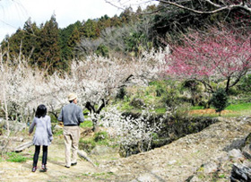 見ごろになっている川売の梅