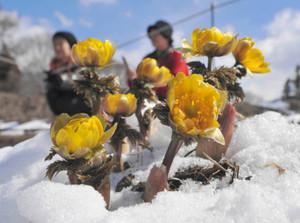 積もった雪にも負けず花を咲かせるフクジュソウ=松本市赤怒田で