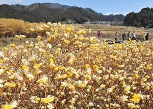 棚田の休耕田で群生するミツマタの花=亀山市安坂山町で