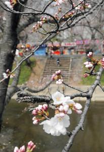 ようやくつぼみを開き始めた新境川堤の桜=各務原市で