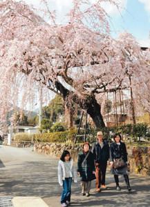 大きく枝をせり出した満開のシダレザクラ=大紀町崎で