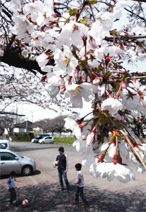 暖かな陽気に誘われ咲き始めた桜=静岡市葵区沓谷の愛宕霊園で