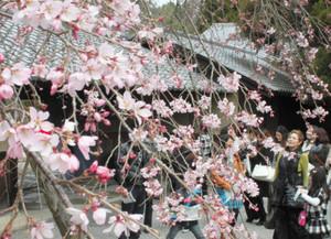 開花が始まったシダレザクラ=大津市の寿長生の郷で