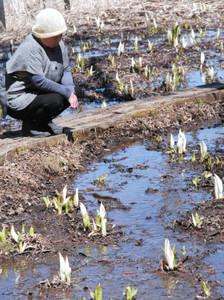 小さな白い苞を開き始めたミズバショウ=塩尻市郊外のみどり湖で