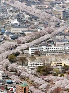 満開となり新境川を彩る百十郎桜=各務原市で、本社ヘリ「あさづる」から