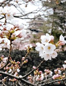 暖かな日差しを浴びて開花し始めた国宝松本城外堀のソメイヨシノ=松本市で