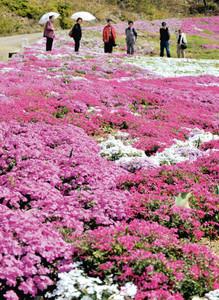 山肌を埋め、色とりどりに咲き誇るシバザクラ=志摩市磯部町の市観光農園で