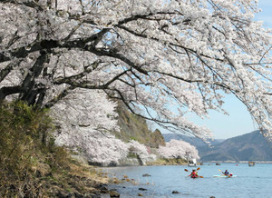 琵琶湖岸をピンク色で彩る桜並木=高島市マキノ町の海津大崎で