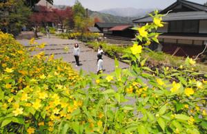参道を色鮮やかに彩るヤマブキの花=郡上市白鳥町の長滝白山神社で