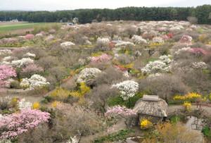 色とりどりのモモの花が咲く園内=箕輪町の伊那梅苑で