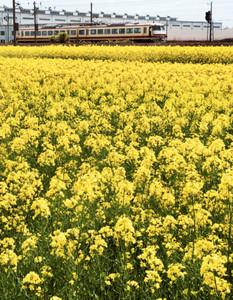 黄色が鮮やかな満開の菜の花=滑川市追分で